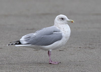 Thayer's Gull, adult, Salmon Creek, Californian 17/2/2015