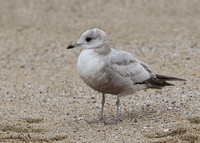 Mew Gull, Russian River, California, 17/2/2015