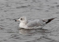 Ringed-billed Gull, 1st w, Nimmo's Pier, Galway, 6/3/2011