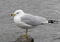 Ringed-billed Gull, adult, Nimmo's Pier, Galway, 6/3/2011