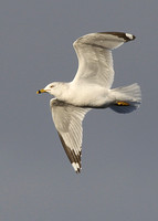 Ringed-billed Gull, adult, Nimmo's Pier, Galway, 8/3/2011