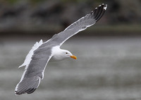 Western Gull, adult, Russian River, California, 18/2/2015