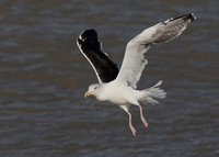 Great Black-backed Gull, adult, Dungeness, Kent, 3/11/2013