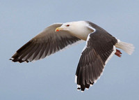 Great Black-backed Gull, adult, Dungeness, Kent, 24/11/2013