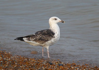Great Black-backed Gull, 3rd winter, Dungeness, Kent, 28/9/2014