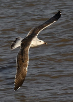 Great Black-backed Gull, 3rd winter, Dungeness, Kent, 19/10/2014