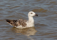 Great Black-backed Gull, 2nd winter, Dungeness, Kent, 19/7/2014