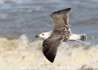 Great Black-backed Gull, 2nd winter, Dungeness, Kent, 21/9/2014
