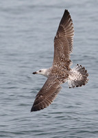 Great Black-backed Gull, 2nd winter, Dungeness, Kent, 28/9/2014