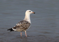 Great Black-backed Gull, 2nd winter, Dungeness, Kent, 28/9/2013
