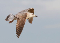 Great Black-backed Gull, 2nd winter, Dungeness, Kent, 18/1/2014