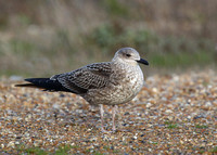 Lesser Black-backed Gull, 1st winter, Dungeness, Kent, 8/11/2014