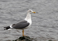 Lesser Black-backed Gull, adult, 23/1/2015