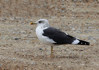 Lesser Black-backed Gull, adult, Dungeness, Kent, 26/10/14