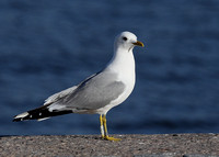 Common Gull, adult, Stockholm, Sweden, May 2015