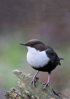 Black-bellied Dipper, Thetford, Norfolk, 12/1/2013