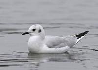 Bonaparte's Gull, 1st w Eastbourne, East Sussex, 9/2/2013