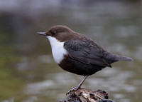 Black-bellied Dipper, Thetford, Norfolk, 10/2/2013