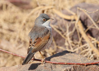 Spectacled Warbler, Ouarzazate, Morocco, 1/3/2013