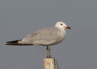 Audouin's Gull, adult, Ebro delta, Spain, 31/07/2016