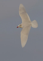 Mediterranean Gull, adult winter, Southend, Essex, 18/2/2013