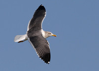 Lesser Black-backed Gull, adults, Praia Dourada, Portugal, 9/02/2014