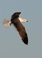 Lesser Black-backed Gull, adult, Praia Dourada, Armacao de Pera, Algarve, Portugal , 9/02/2014