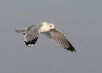 Common Gull, adult winter, Dungeness, Kent, 21/01/2017