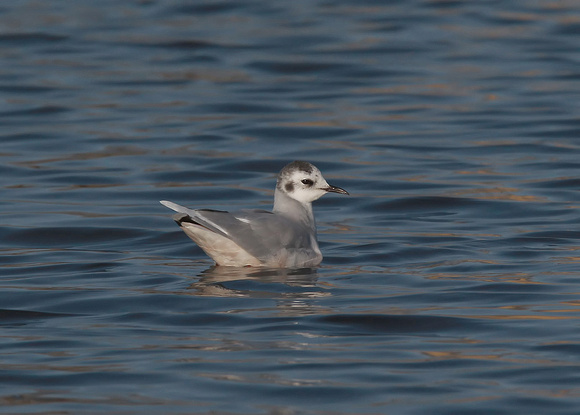 Little Gull, Lancing, West Sussex, 1/3/2014