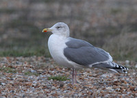 Northern Herring Gull, adult, Dungeness, Kent, 16/12/2017