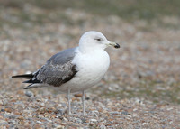 Yellow-legged Gull, 2nd winter, Dungeness, Kent, 4/02/2017