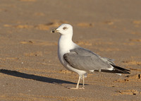 Yellow-legged Gull, 3rd winter, Praia Dourada, Armacao de Pera, Algarve, Portugal , 9/02/2014