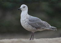 Glaucous-winged Gull, 2nd winter, Venice Beach, California, 16/2/2015