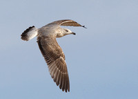 Yellow-legged Gull, 2nd winter, Praia Dourada, Armacao de Pera, Algarve, Portugal , 9/02/2014