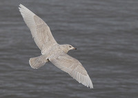 Iceland Gull, (1) juvenile, Bearna Pier, Co Galway, Ireland, 22/01/2018