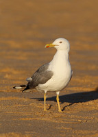 Yellow-legged Gull, adult, Praia Dourada, Armacao de Pera, Algarve, Portugal , 9/02/2014